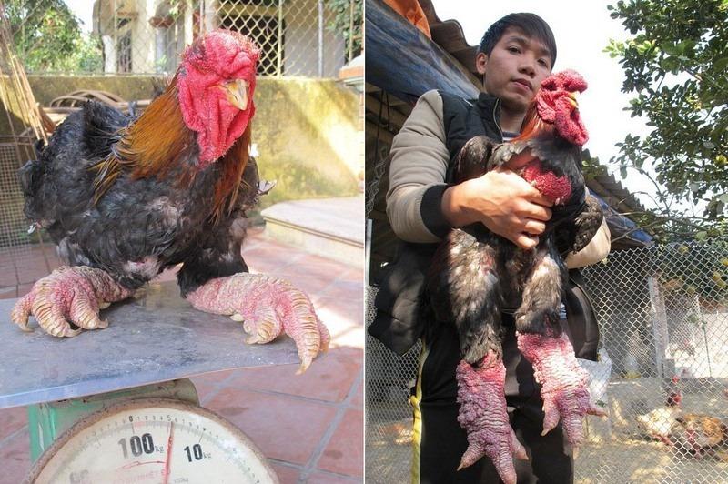 pollo dong tao dragon8