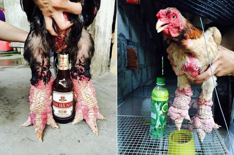 pollo dong tao dragon9