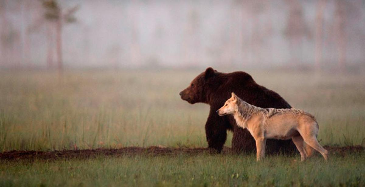 amistad entre lobo y oso 15
