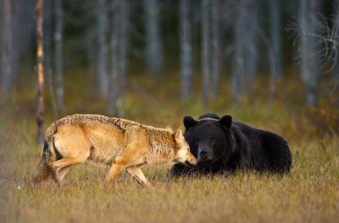 amistad entre oso y lobo 2