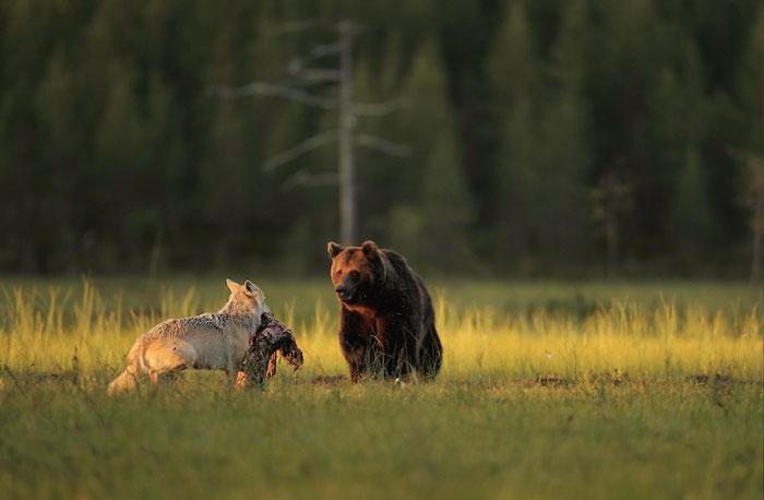 amistad entre oso y lobo 3