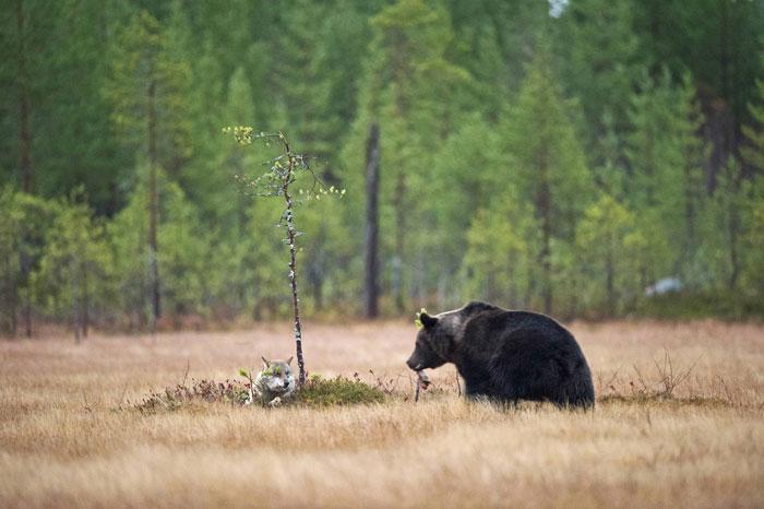 amistad entre oso y lobo 5