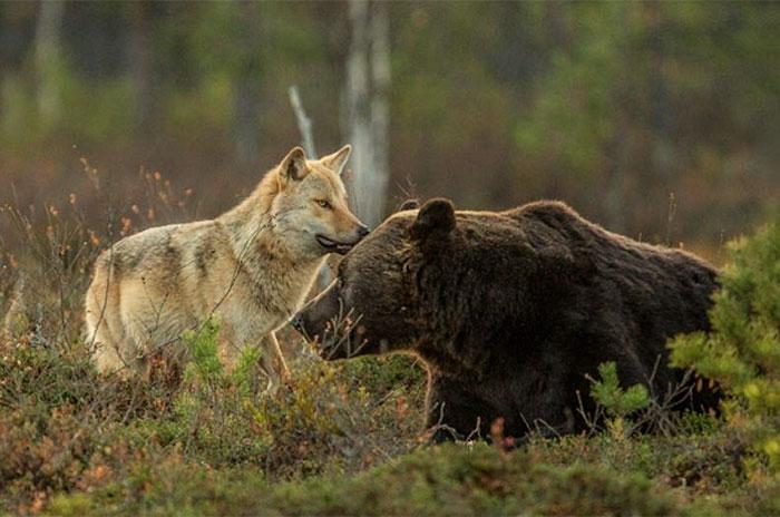 amistad entre oso y lobo 6