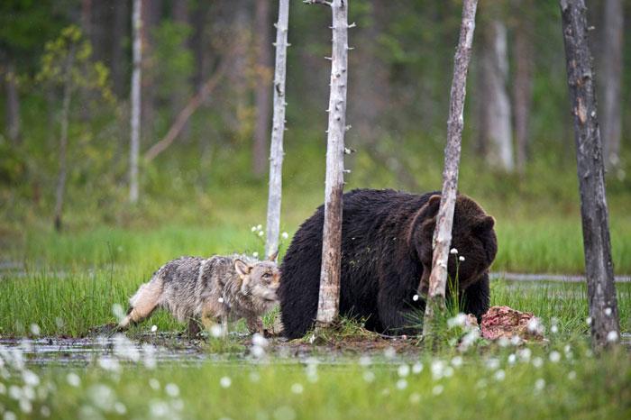 amistad entre oso y lobo 8
