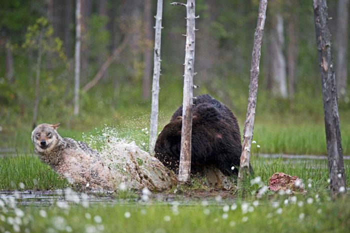 amistad entre oso y lobo 9