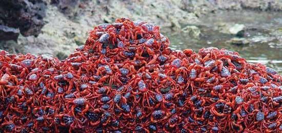 cangrejos-rojos-isla-navidad