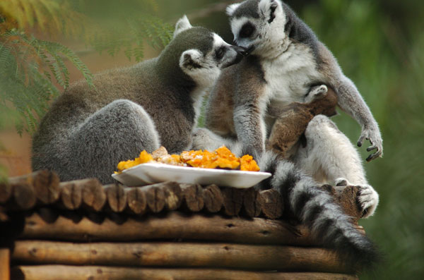 lemures-madagascar
