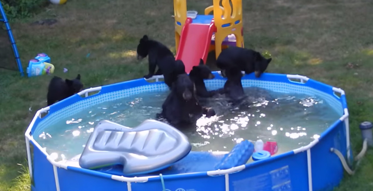 osos bañandose en la piscina