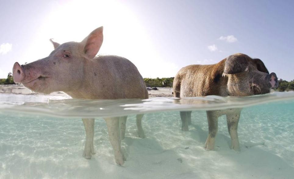 playa-cerdos