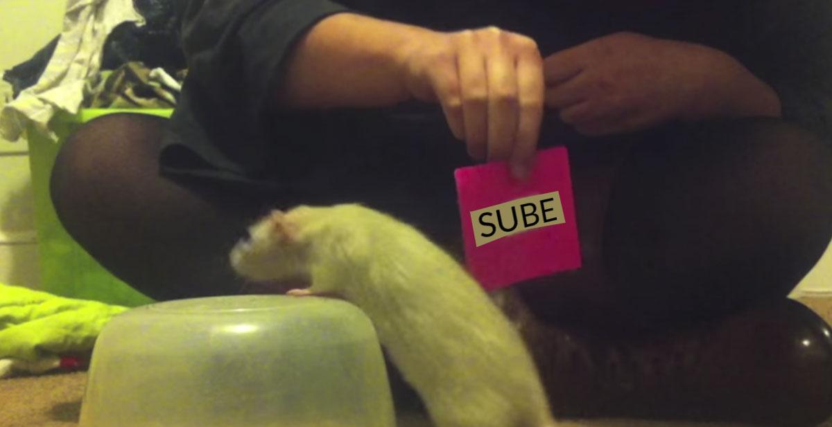 ratas-inteligentes