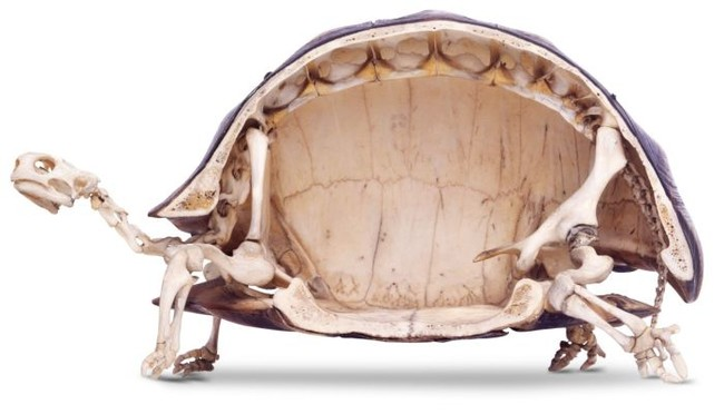 así son las tortugas por dentro 1