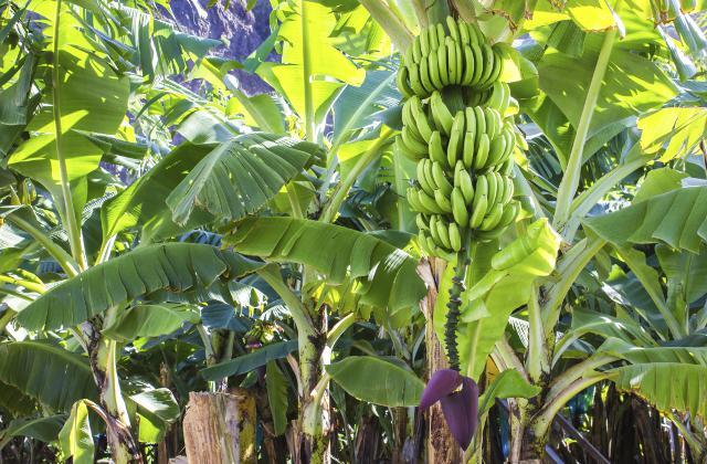 banana no crecen en arbol