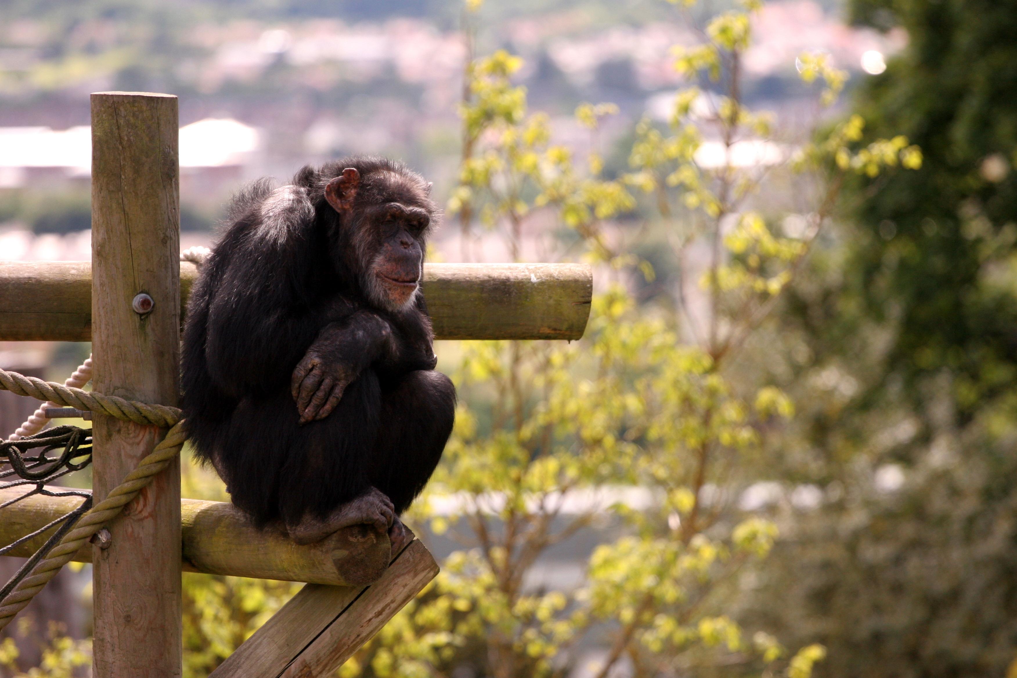 chimpace y hombre