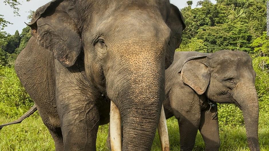 elefante asesindo en sumatra3