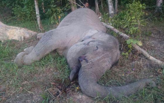 elefante asesindo en sumatra4