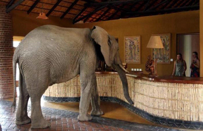elefantes en la recepcion 8