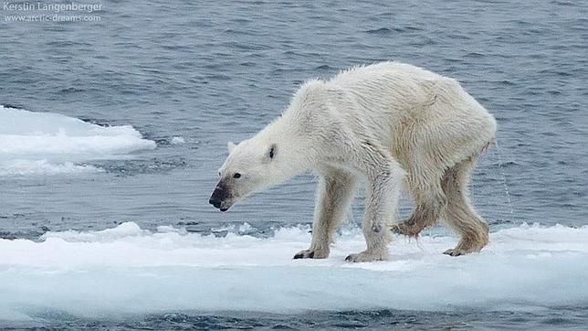 oso_polar_cambio_climatico