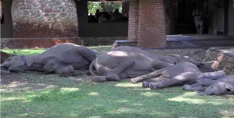 siesta de elefantes