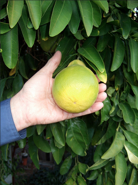 Esto es un Citrangequat, un triple injerto entre kumkuat, naranja y limón