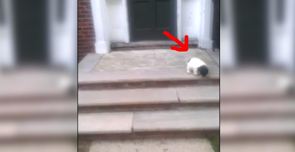 cachorrito de perro aprendiendo a bajar las escaleras a su manera