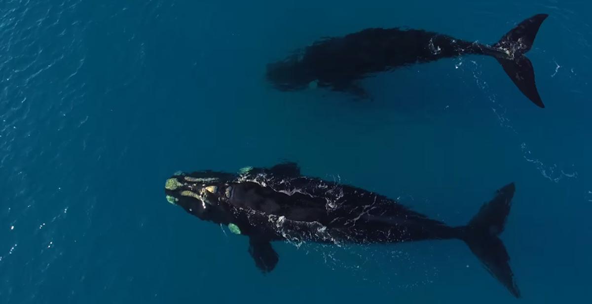 las ballenas que se acercan a un surfero