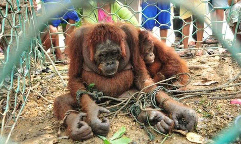orangutan_portada_