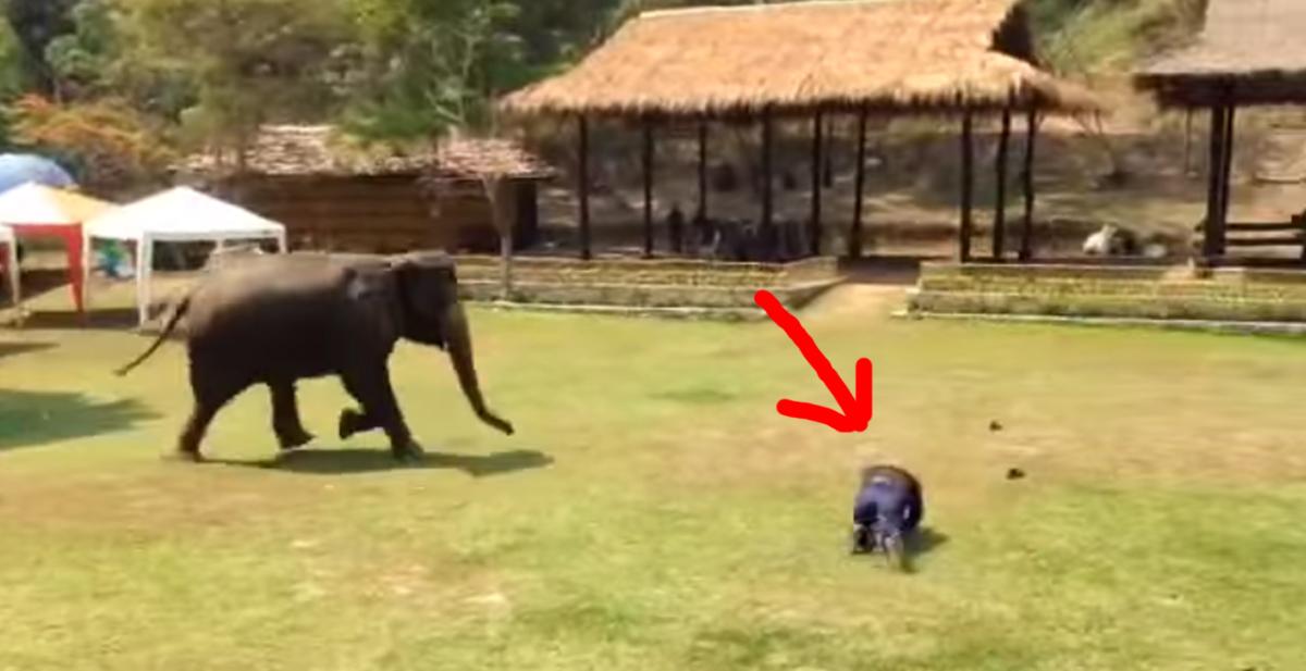 thonsgri el elefante que defiende a su cuidador de una agresion