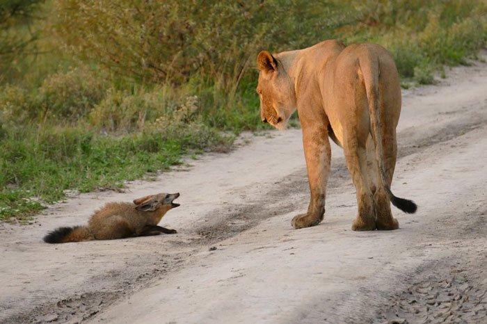 la leona que progio a un zorro herido de ser devorado por otro leon 1
