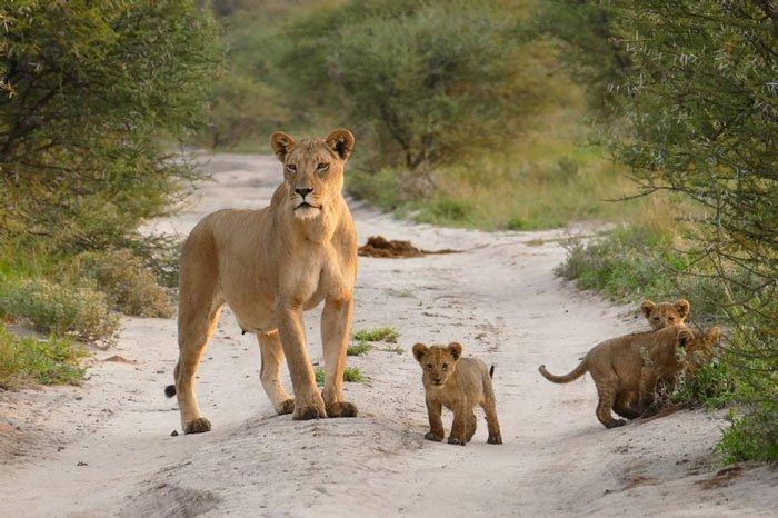 la leona que progio a un zorro herido de ser devorado por otro leon 10