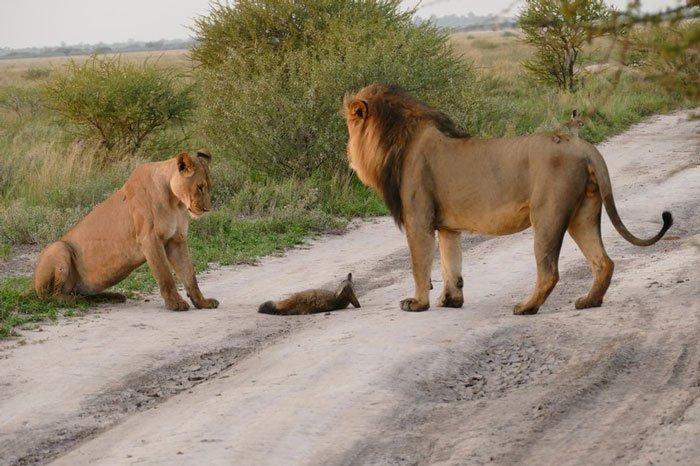 la leona que progio a un zorro herido de ser devorado por otro leon 2