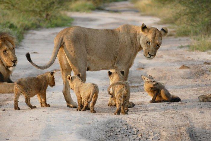 la leona que progio a un zorro herido de ser devorado por otro leon 3