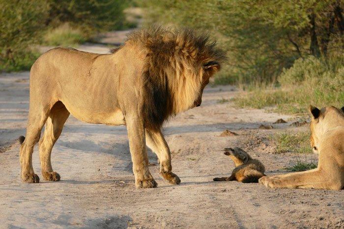la leona que progio a un zorro herido de ser devorado por otro leon 4