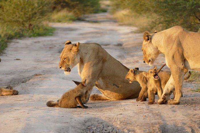 la leona que progio a un zorro herido de ser devorado por otro leon 5