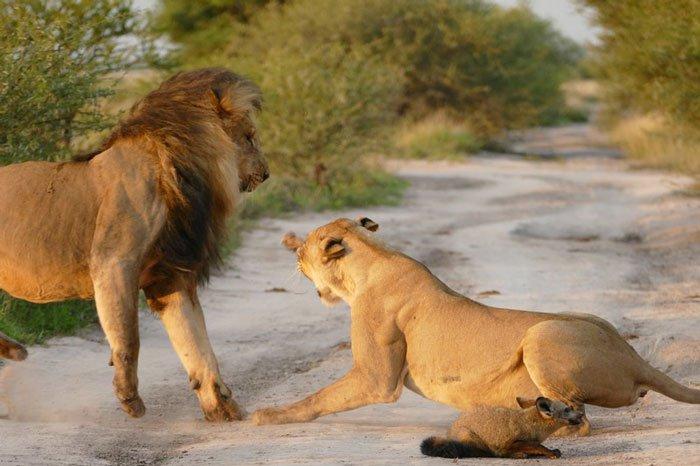 la leona que progio a un zorro herido de ser devorado por otro leon 6