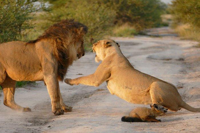 la leona que progio a un zorro herido de ser devorado por otro leon 7