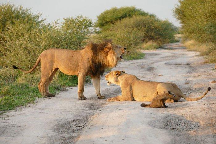la leona que progio a un zorro herido de ser devorado por otro leon 8
