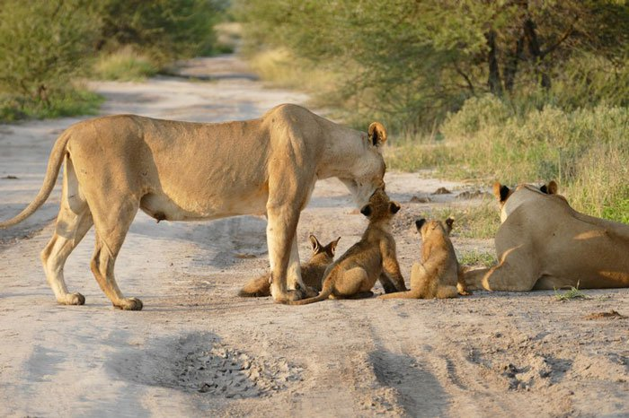 la leona que progio a un zorro herido de ser devorado por otro leon 9