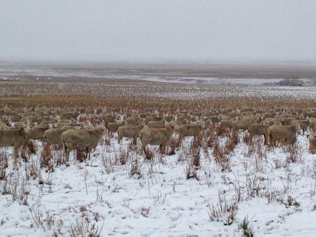 ovejas camufadas 4