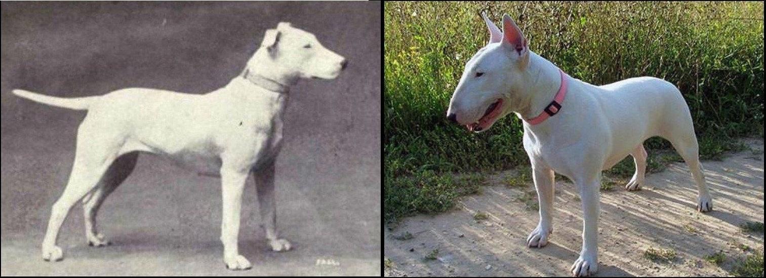 razas perro evolucion 1