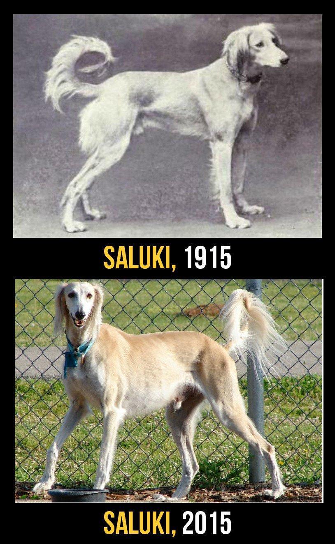 Perros de raza 100 años de evolución, La horrible Verdad!