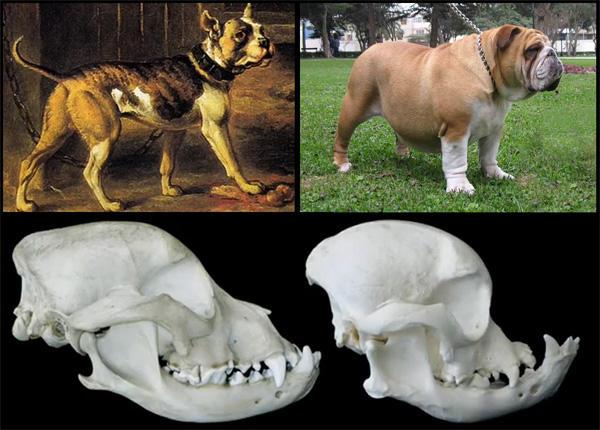 razas perro evolucion 12