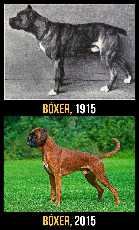 razas perro evolucion 5