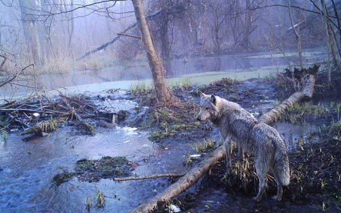 animales chernobyl 4