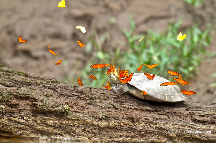 mariposas-beben-lagrimas-tortugas-ecuador-4