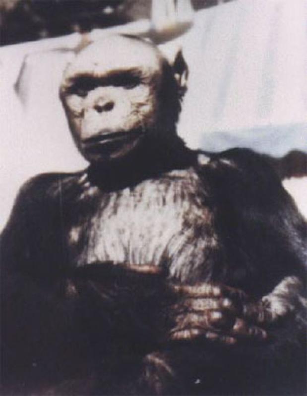 oliver el chimpace humano 1