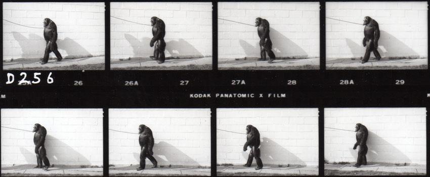 oliver el chimpace humano 11