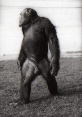 oliver el chimpace humano 6