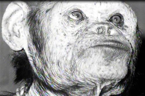oliver el chimpace humano 7