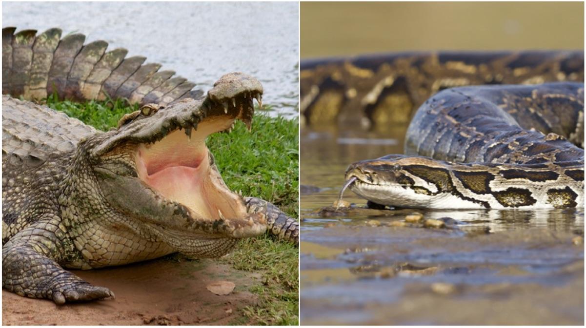 portada serpiente contra cocodrilo