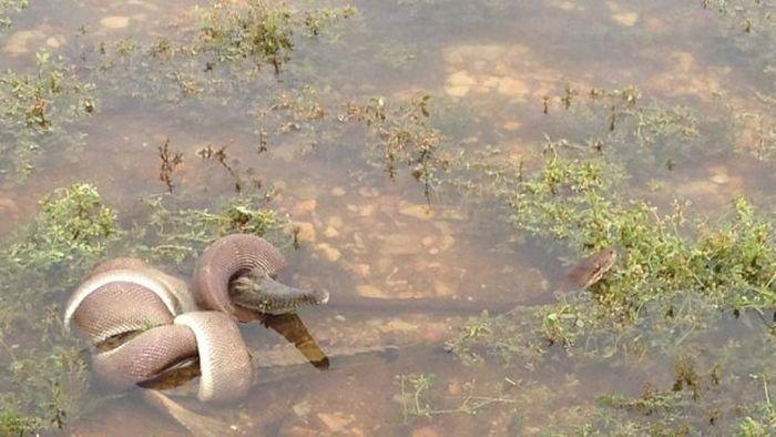 serpiente contra cocodrilo1